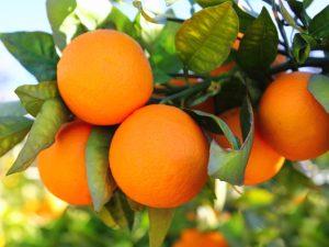 non-gmo-citrus-fruit