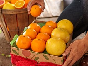 3 Tray - All Oranges